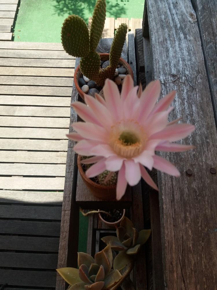 flor de cactus rosa